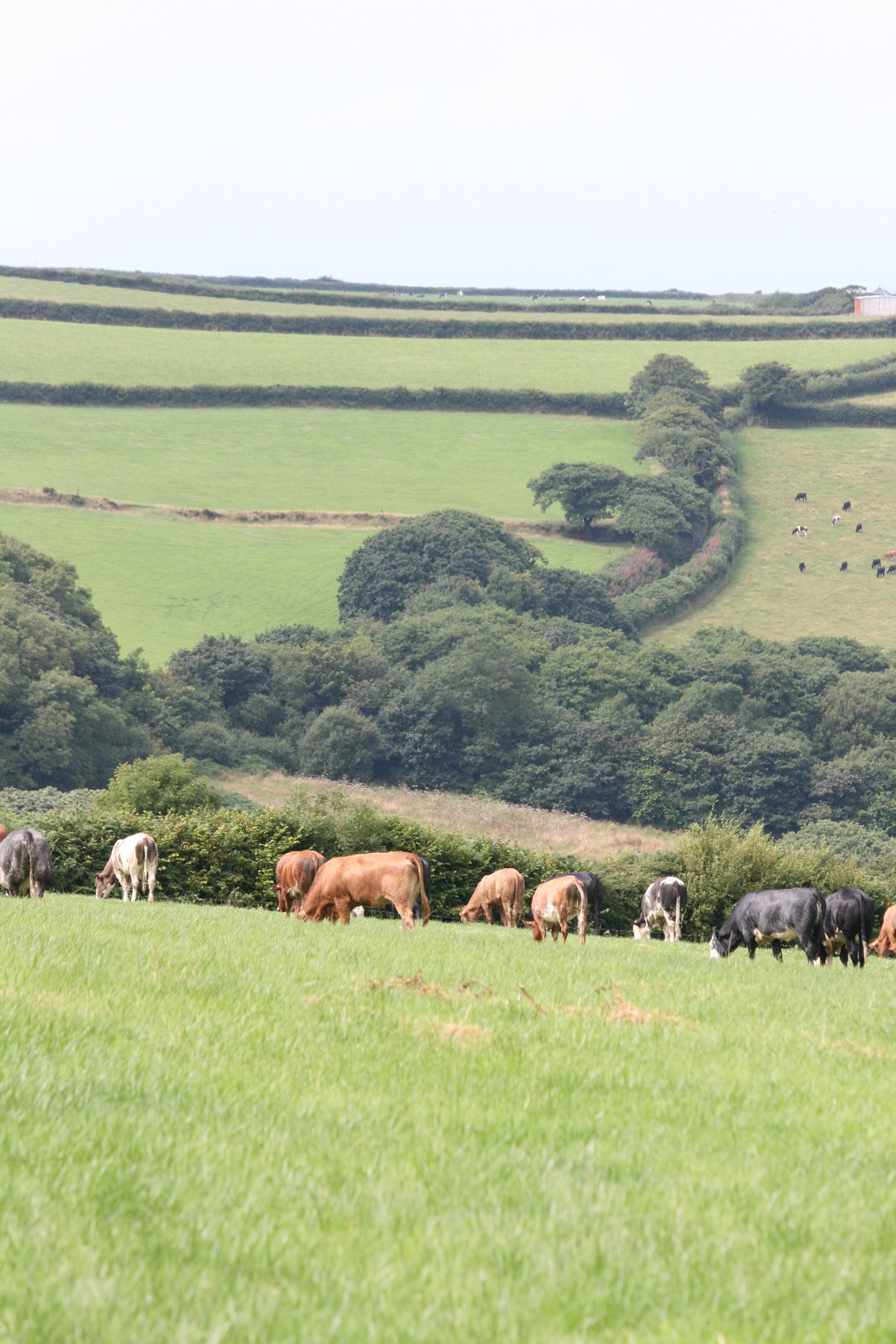 Organic Beef Herd, North Eastcott Farm